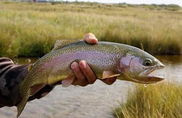 Fish Montana